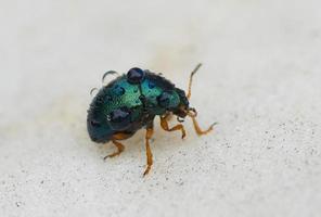 pequeno besouro carrega algumas gotas de água foto