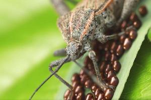 coreidae foto