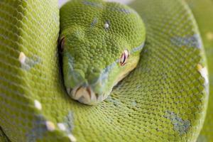 morelia viridis foto