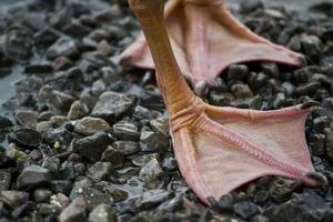 patos pés foto