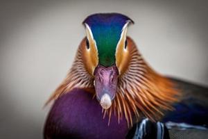 pato colorido foto