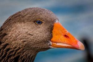retrato de pato