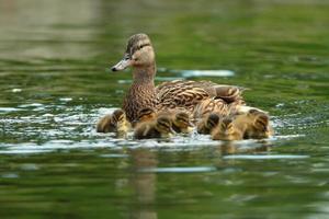 família de patos na superfície da água foto