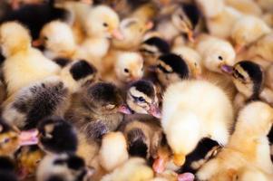 multidão de pequenos patinhos na fazenda foto