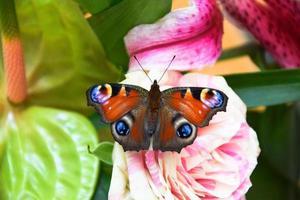 colorido da borboleta pavão europeu foto