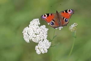 borboleta de pavão inachis io foto