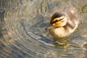 patinho bebê nadando na lagoa foto