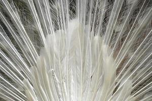 volta da beleza pavão branco dançando foto