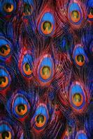 penas de pavão colorido foto