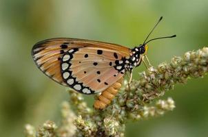 tawny coster (acraea violae) em cingapura foto