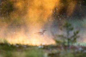 mergulhão-de-garganta-vermelha no nevoeiro foto