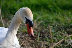 cisne no ninho foto
