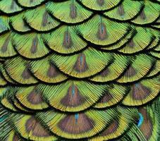 close-up de penas de pavão verde para textura e design foto