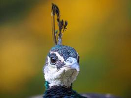 retrato de pavão bonito (pavo cristatus) foto