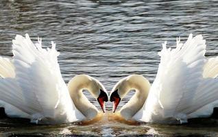 coração de cisnes foto