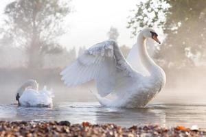 alongamento cisne foto