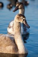 retrato de um jovem cisne (cygnus olor), polônia, lago pogoria. foto
