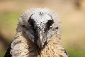 abutre de águia foto