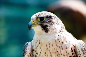falco peregrinus foto