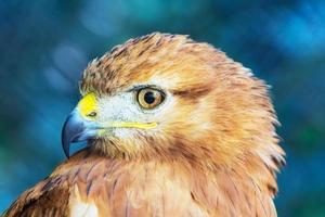 Falcão de cauda vermelha foto