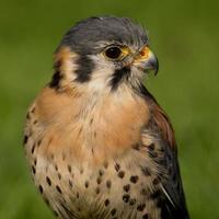 Peneireiro americano (falco sparverius) foto