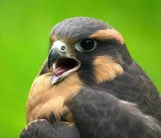 jovem ave de rapina foto