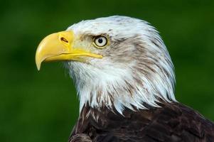 águia americana (haliaeetus leucocephalus) foto