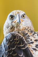 águia coroada (stepphanoaetus coronatus) foto
