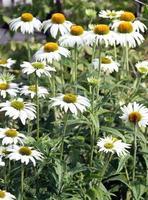 """echinacea purpurea, """"cisne branco"""" também coneflower foto"""