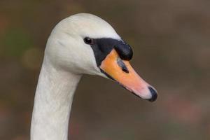 cisne closeup foto