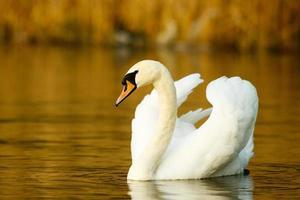 cisne no lago foto