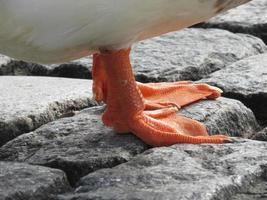 pata naranja de pato ou pájaro foto