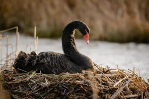 cisne negro (cygnus atratus) foto