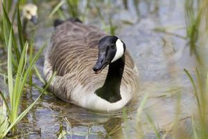 ganso do Canadá nadando em direção à câmera em uma lagoa foto