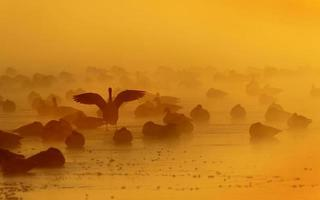 gansos do Canadá no lago congelado ao nascer do sol foto