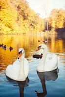 par de cisnes brancos no lago foto