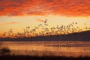 gansos da neve voando ao nascer do sol foto