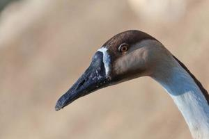 retrato de um ganso marrom