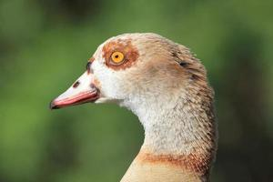 cabeça de ganso egípcio no perfil foto