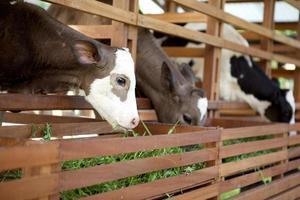 Fazenda de gado foto