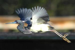 garça-real tricolor (egretta tricolor) foto