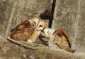 casal coruja de celeiro foto