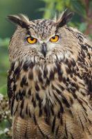 olhar da coruja de águia foto