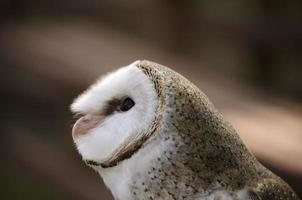 coruja australiana foto