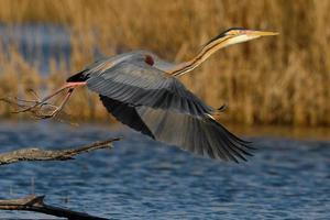 garça vermelha começando a voar em uma lagoa foto