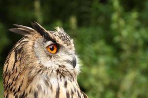 coruja de águia da Eurásia. foto