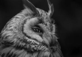 grande coruja Horned foto