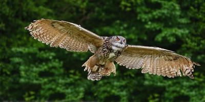 deslumbrante coruja de águia europeia em voo foto