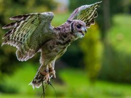 coruja de águia abissínio foto