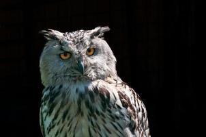 coruja de águia (bubo bubo) foto